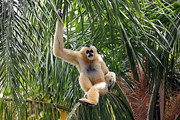 Northern White-cheeked Gibbon (Hylobates leucogenys), female adult in tree, Asia
