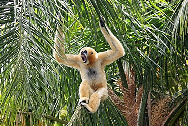 Northern White-cheeked Gibbon (Hylobates leucogenys), female adult calling in tree, Asia