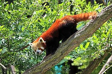 Red Panda (Ailurus fulgens fulgens adult), on tree, running, Asia