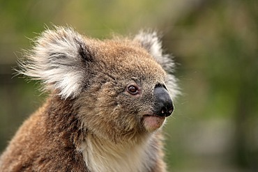 Koala (Phascolarctos cinereus), adult, portrait, Australia