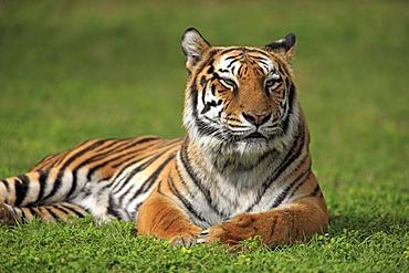 Bengal tiger or Royal Bengal tiger (Panthera tigris tigris), adult, India, Asia