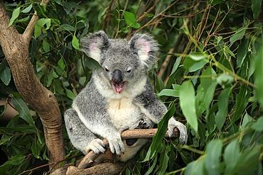 Koala (Phascolarctos cinereus), yawning adult in tree, Australia