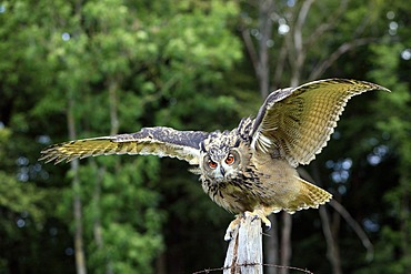 Eurasian Eagle-owl (Bubo bubo), adult, perched on fence post, Germany, Europe