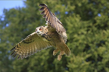 Eurasian Eagle-owl (Bubo bubo), adult, in flight, Germany, Europe
