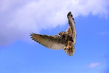 Eurasian Eagle-owl (Bubo bubo), adult, in flight, Germany, Europe