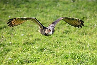 Eurasian Eagle-owl (Bubo bubo), adult in flight, Germany, Europe