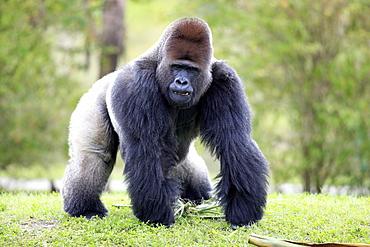 Western Gorilla (Gorilla gorilla), adult, male, silverback, Africa