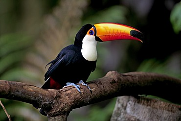 Toco Toucan (Ramphastos toco), adult, on tree, Pantanal, Brazil, South America