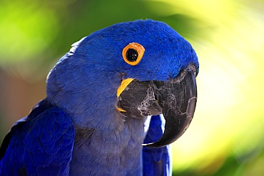 Hyacinth Macaw (Anodorhynchus hyacinthinus), adult, portrait, South America
