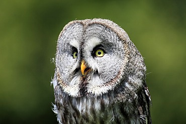 Great Gray Owl (Strix nebulosa), adult, portrait, calling, Germany, Europe
