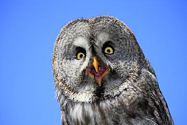 Great Grey Owl or Lapland Owl (Strix nebulosa), adult, portrait, calling, Germany, Europe