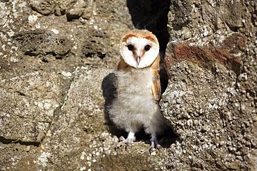 Barn Owl (Tyto alba), fledgling, Germany, Europe