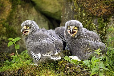 Snowy Owls (Nyctea scandiaca), three fledglings calling
