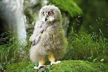 Eagle Owl (Bubo bubo), fledgling, alert, Germany, Europe
