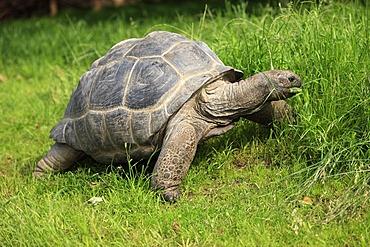 Aldabra giant tortoise (Testudo gigantea, Geochelone gigantea), foraging
