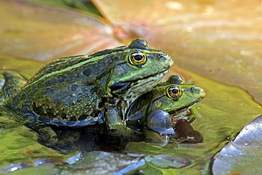 Edible frog (Rana esculenta), pair in water, Luisenpark, Mannheim, Baden-Wuerttemberg, Germany, Europe