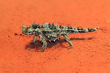 Thorny Devil, Thorny Dragon, Mountain Devil, Thorny Lizard (Moloch horridus), feeding, desert, Outback, Northern Territory, Australia
