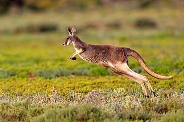 Red Kangaroo (Macropus rufus) jumping adult, Tibooburra, Sturt National Park, New South Wales, Australia