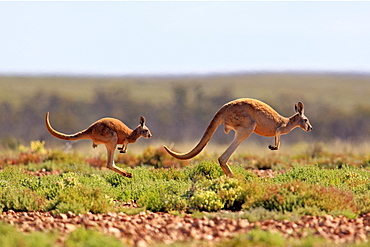 Red Kangaroo (Macropus rufus) jumping adult female and young, Tibooburra, Sturt National Park, New South Wales, Australia