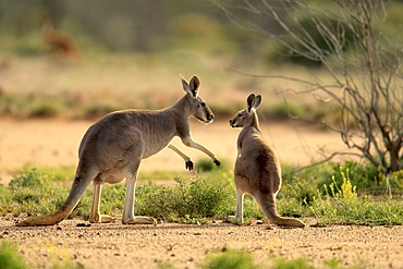 Red Kangaroo (Macropus rufus) adult female and young, Tibooburra, Sturt National Park, New South Wales, Australia