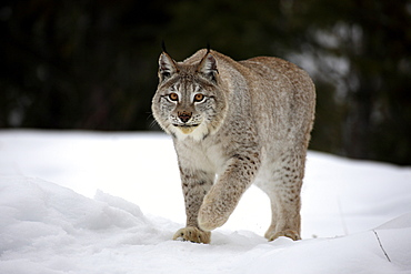 Eurasian lynx (Lynx lynx), adult, foraging, snow, winter, Montana, USA