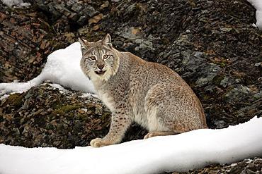 Eurasian Lynx (Lynx lynx), adult, foraging in the snow, winter, Montana, USA