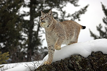 Eurasian Lynx (Lynx lynx), adult, foraging in the snow, winter, Montana, USA