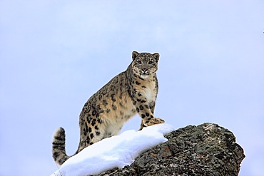 Snow leopard (Uncia uncia), adult, foraging, snow, winter, Asia