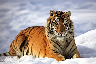 Siberian Tiger (Panthera tigris altaica), lying in snow, winter, Asia