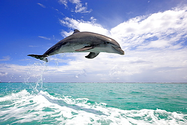 Bottlenose Dolphin (Tursiops truncatus), adult, jumping out of the sea, Roatan, Honduras, Caribbean, Central America, Latin America