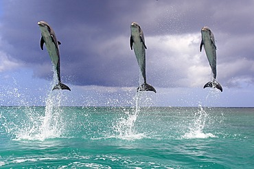 Three Bottlenose Dolphins (Tursiops truncatus), adult, jumping out of the sea, Roatan, Honduras, Caribbean, Central America, Latin America