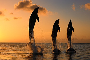 Three Common Bottlenose Dolphins (Tursiops truncatus), adult, leaping at sunset, Roatan, Honduras, Caribbean, Central America, Latin America