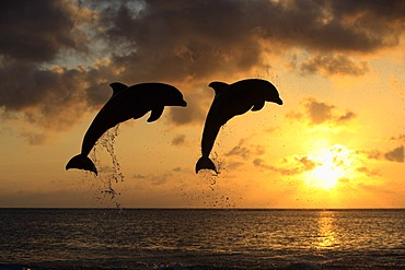 Two Common Bottlenose Dolphins (Tursiops truncatus), adult, leaping at sunset, Roatan, Honduras, Caribbean, Central America, Latin America
