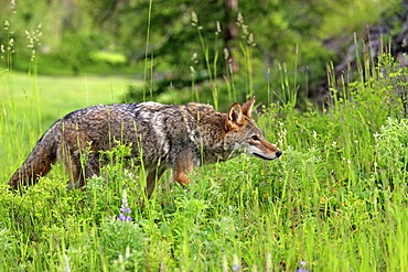 Coyote (Canis latrans), adult, Montana, USA, North America