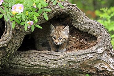Bobcat (Lynx rufus), kitten, eight weeks, den, tree trunk, Montana, USA, North America