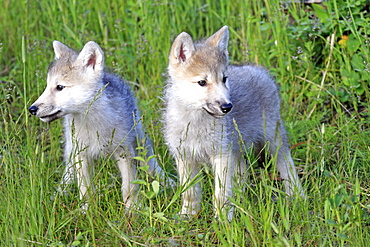 Gray Wolves (Canis lupus), pups, eight weeks, littermates, Montana, USA, North America
