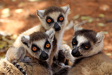 Ring-tailed Lemur (Lemur catta), adult, group, portrait, Berenty Reserve, Madagascar, Africa