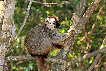 Red-fronted Lemur (Lemur fulvus rufus), adult in a tree, Berenty Reserve, Madagascar, Africa