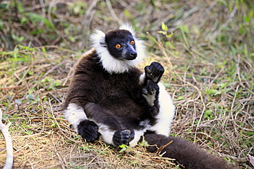 Black-and-white Ruffed Lemur (Varecia variegata), adult sitting on the ground, Madagascar, Africa
