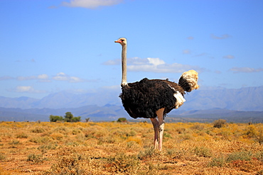 South African ostrich (Struthio camelus australis), adult, male, Oudtshoorn, Little Karoo, South Africa, Africa