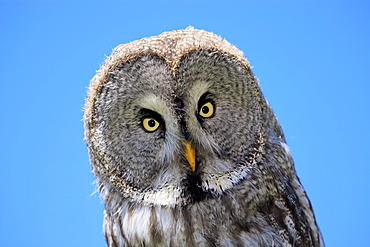 Great Grey Owl or Lapland Owl (Strix nebulosa), adult, portrait, Germany, Europe
