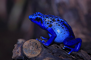 Blue poison dart frog (Dendrobatus tinctorius azureus), adult, South America