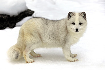 Arctic fox, white fox, polar fox or snow fox (Vulpes lagopus formerly Alopex lagopus), adult, foraging for food in the snow, Montana, North America, USA