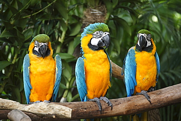 Three Blue-and-Yellow Macaws or Blue-and-Gold Macaws (Ara ararauna), adults, South America
