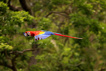 Scarlet Macaw (Ara macao), adult, flying past rainforest, Roatan, Honduras, Caribbean, Central America, Latin America