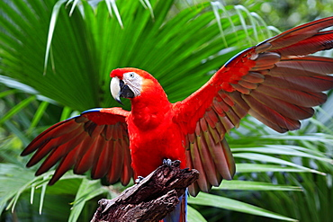 Scarlet Macaw (Ara macao), adult, perched on a lookout with its wings spread, Roatan, Honduras, Caribbean, Central America, Latin America