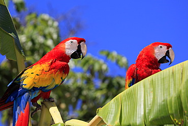 Scarlet Macaws (Ara macao), adult pair perched on a banana tree, Roatan, Honduras, Caribbean, Central America, Latin America