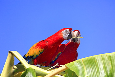 Scarlet Macaws (Ara macao), adult pair perched on a banana tree, passing on a gift, Roatan, Honduras, Caribbean, Central America, Latin America