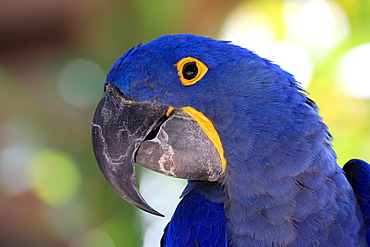 Hyacinth Macaw or Hyacinthine Macaw (Anodorhynchus hyacinthinus), adult, portrait, Miami, Florida, USA