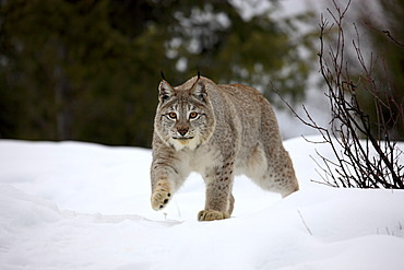 Lynx (Felis lynx), adult, searching for food in the snow, Montana, USA
